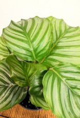Calathea Calathea Orbifolia D12
