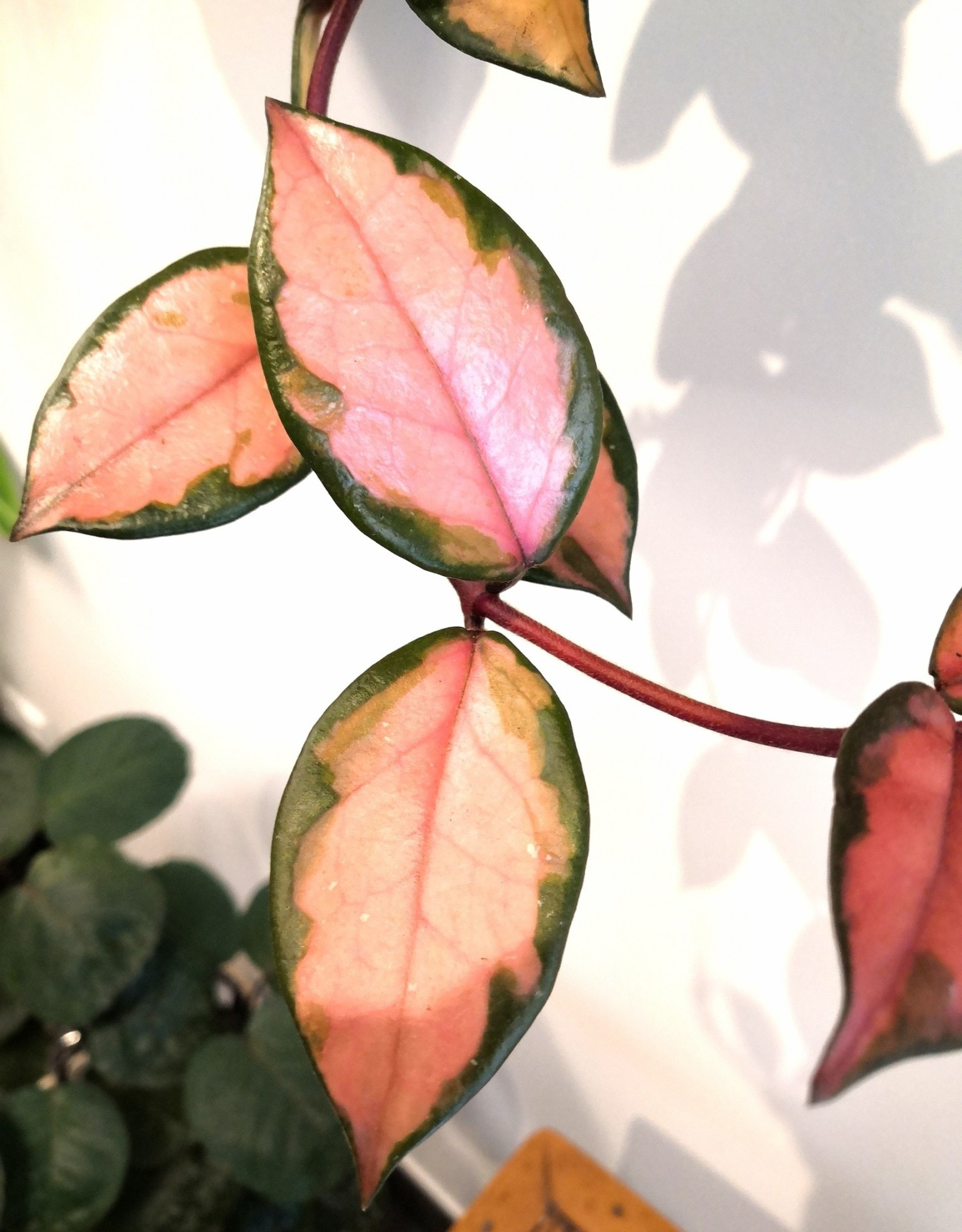 Hoya Hoya Carnosa Tricolor D19