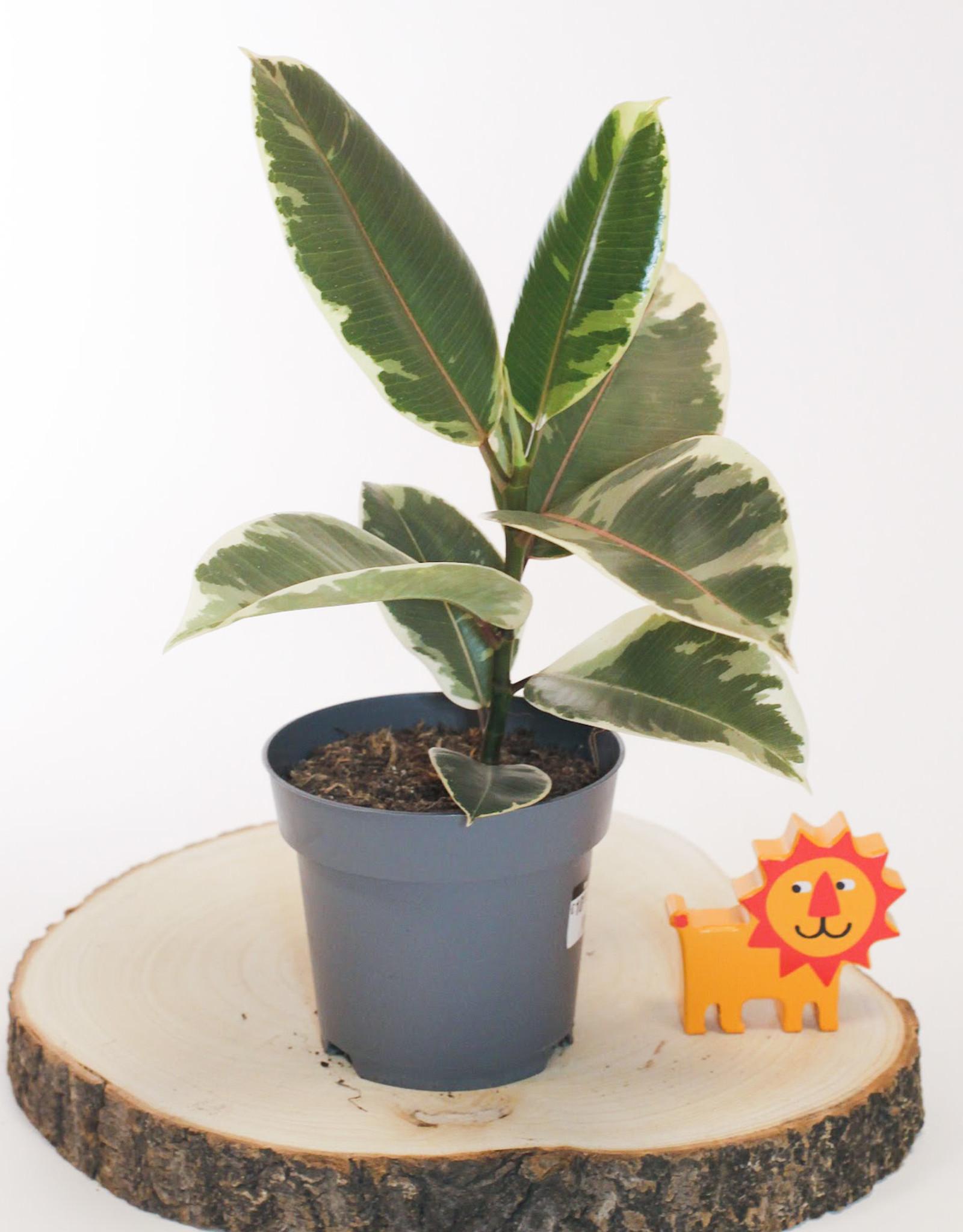 Ficus Ficus Elastica Tineke D14