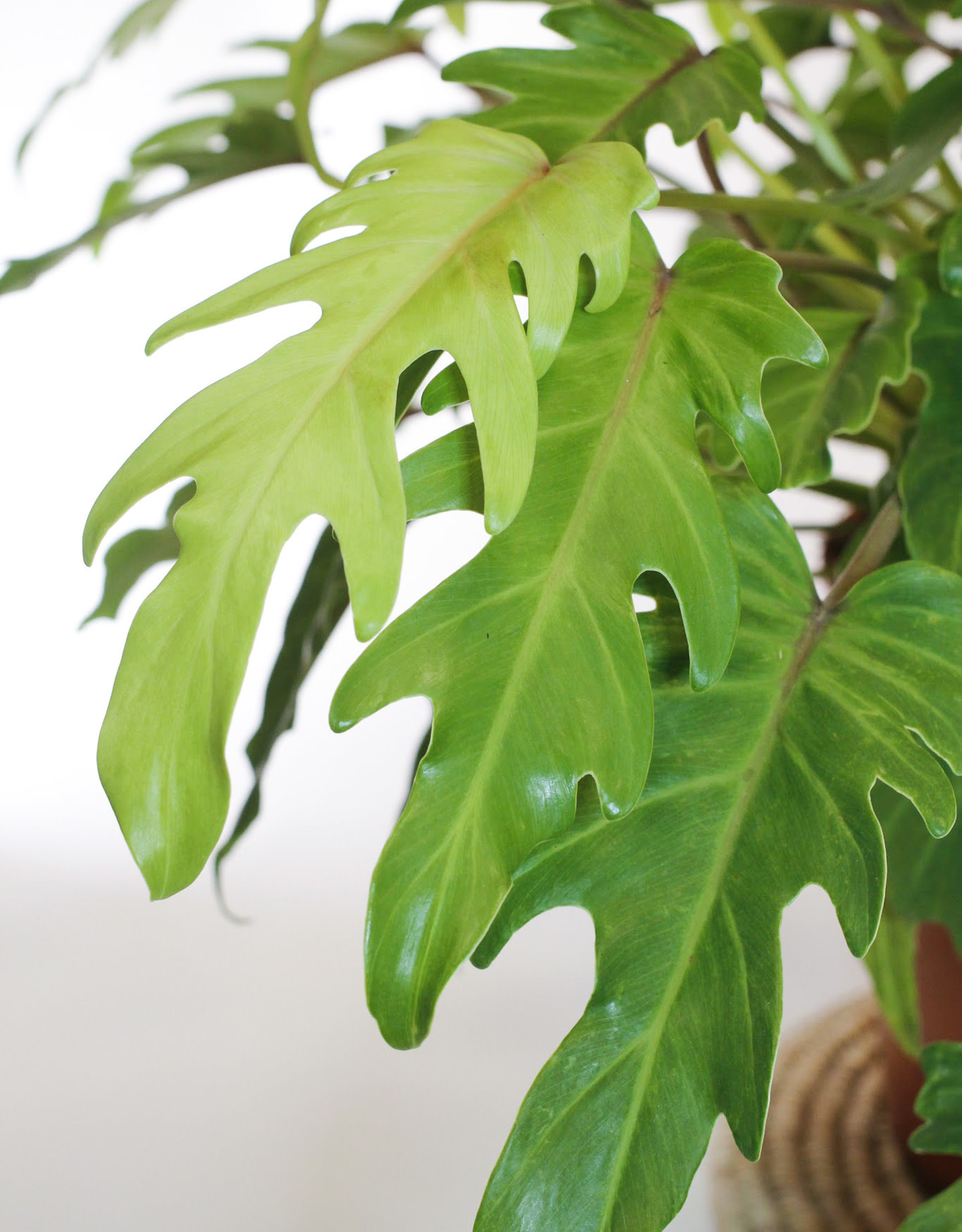 Philodendron Philodendron xanadu gold D27