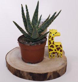 Aloe Aloe danyz D10