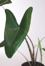 Alocasia Alocasia zebrina D17