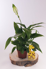 Spathiphyllum Spathiphyllum Pearl Cupid Wit D9