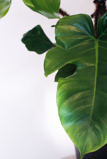 Philodendron Philodendron Squariferum D24