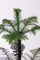 Araucaria Araucaria Heterophylla D21