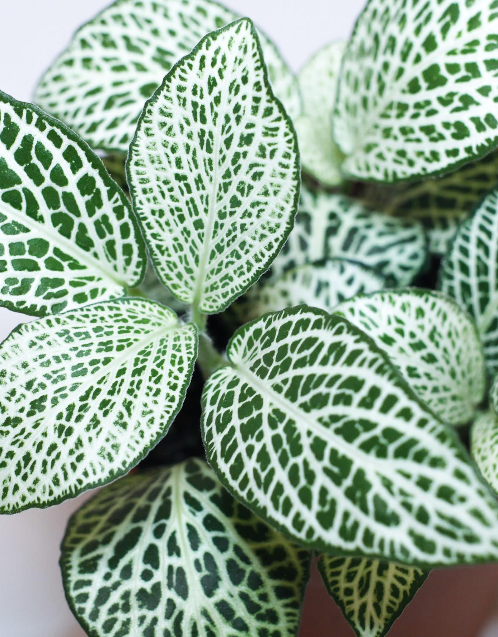 Fittonia Fittonia white D8