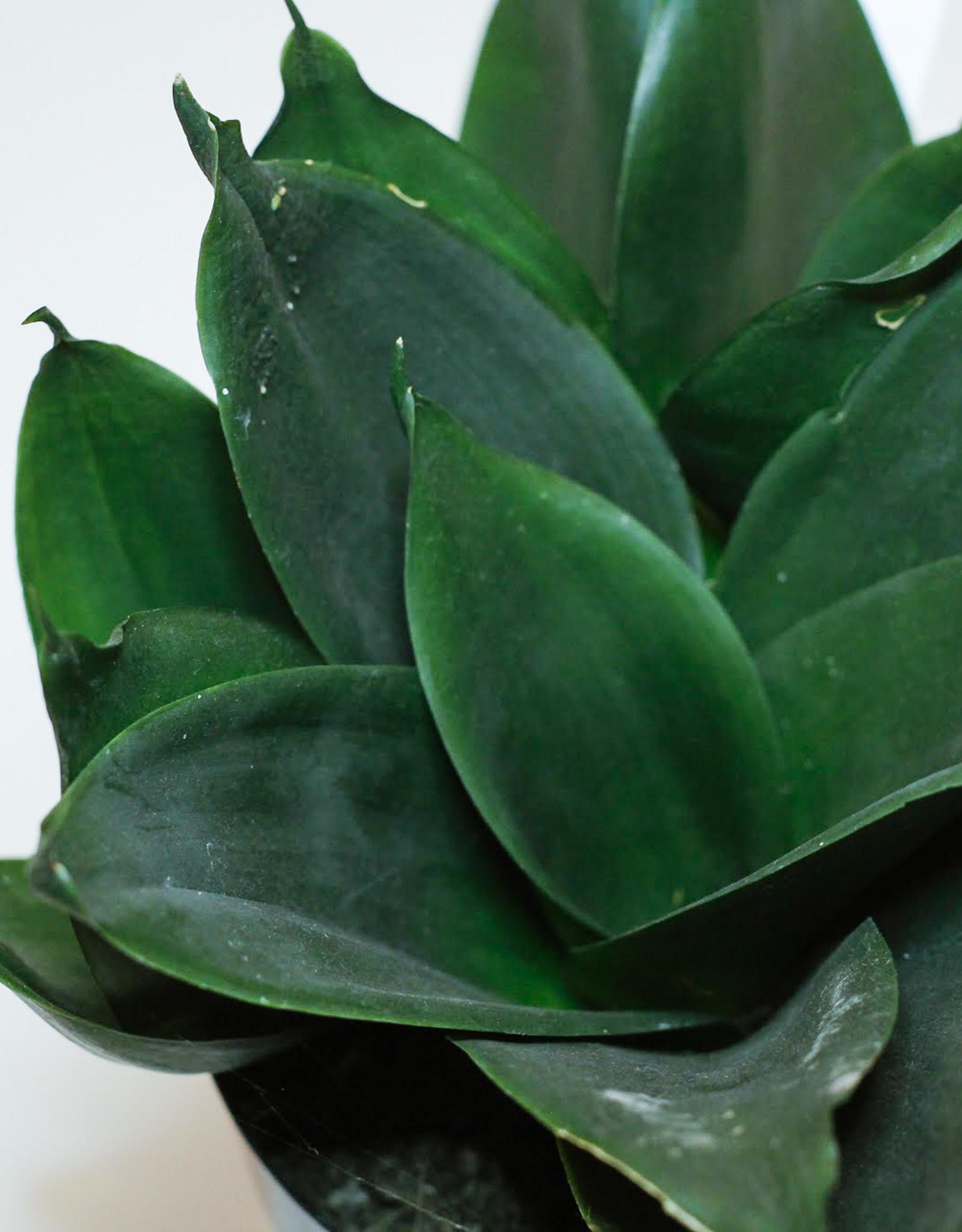 Sansevieria Sansevieria black dragon D11