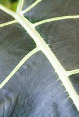 Alocasia Alocasia Sarian D24