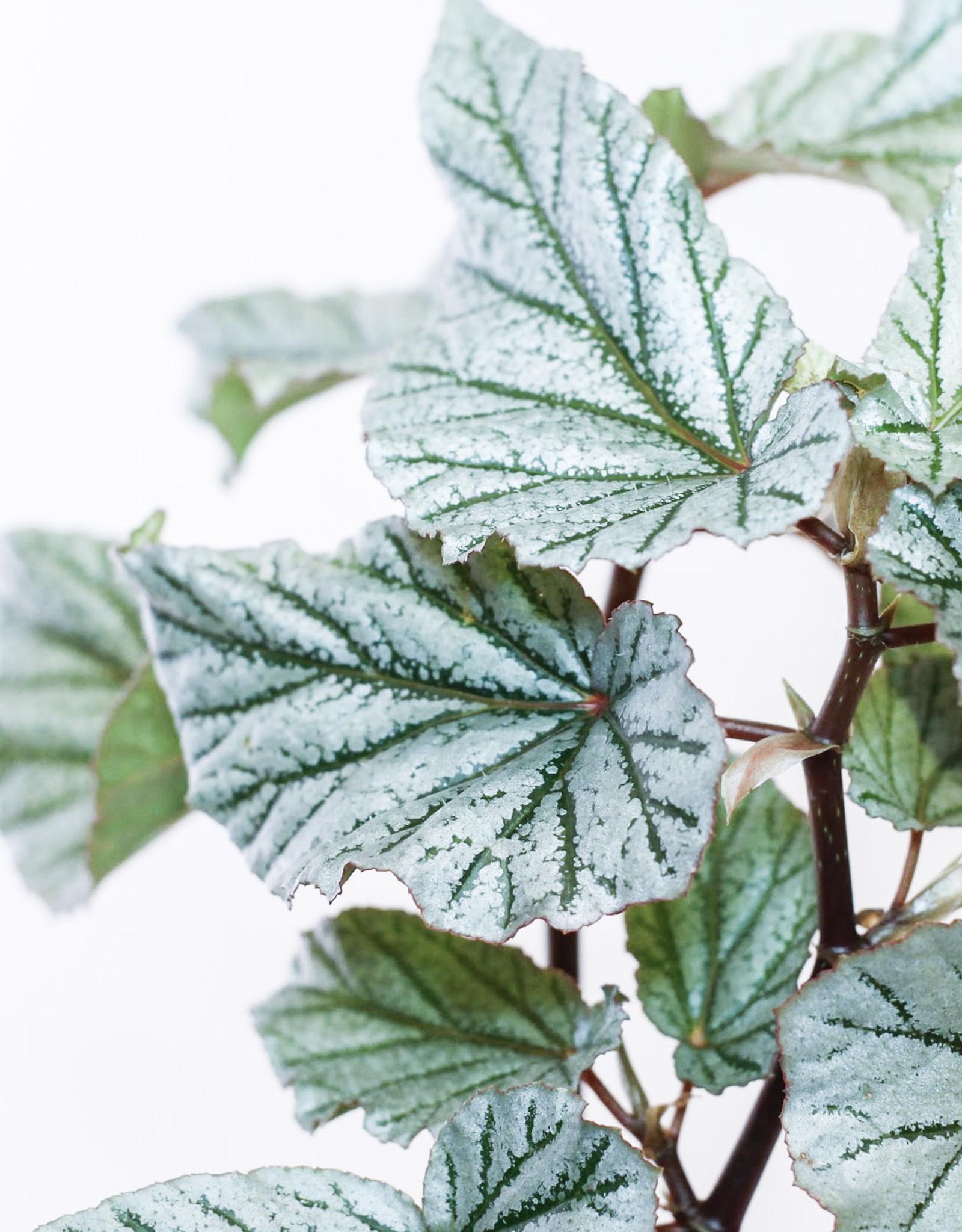 Begonia Begonia Jolly Silver D17