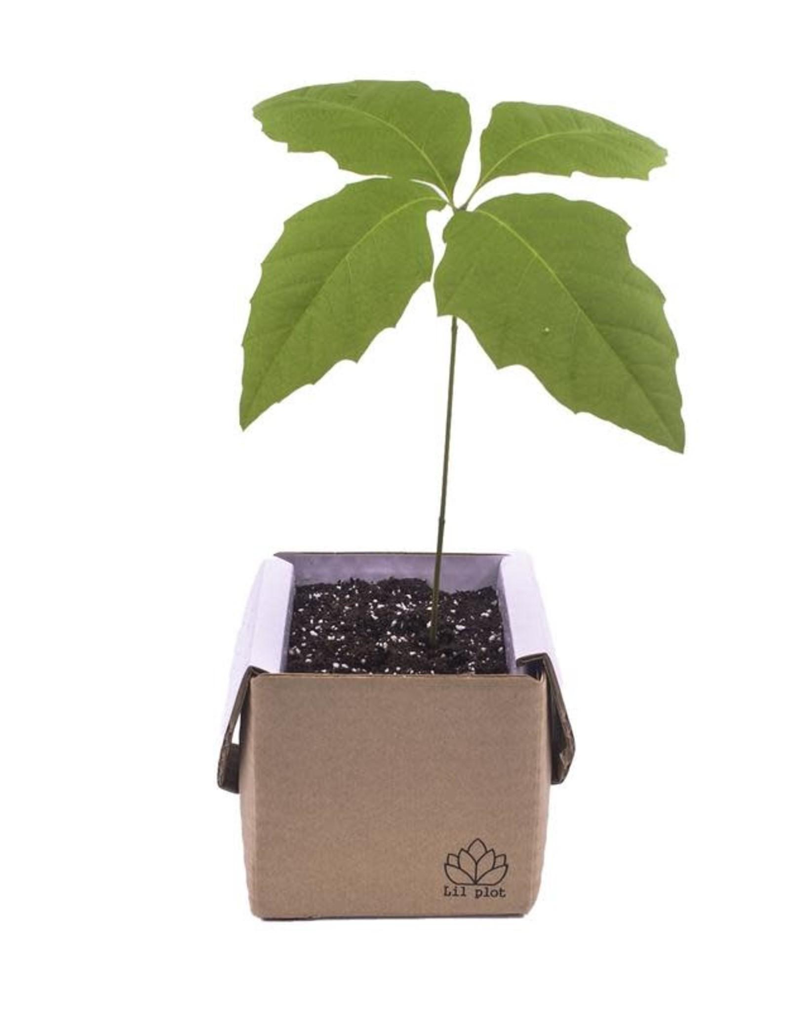 lil plot Grow your own tree Eik