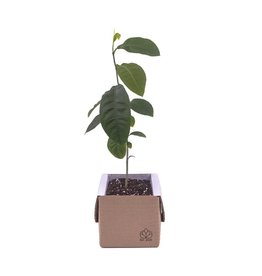 lil plot Grow your own tree Citroenboom