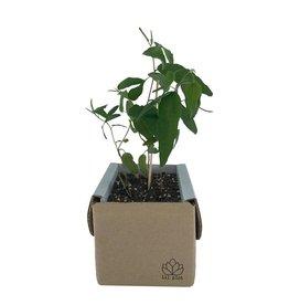 lil plot Grow your own tree Eucalyptus