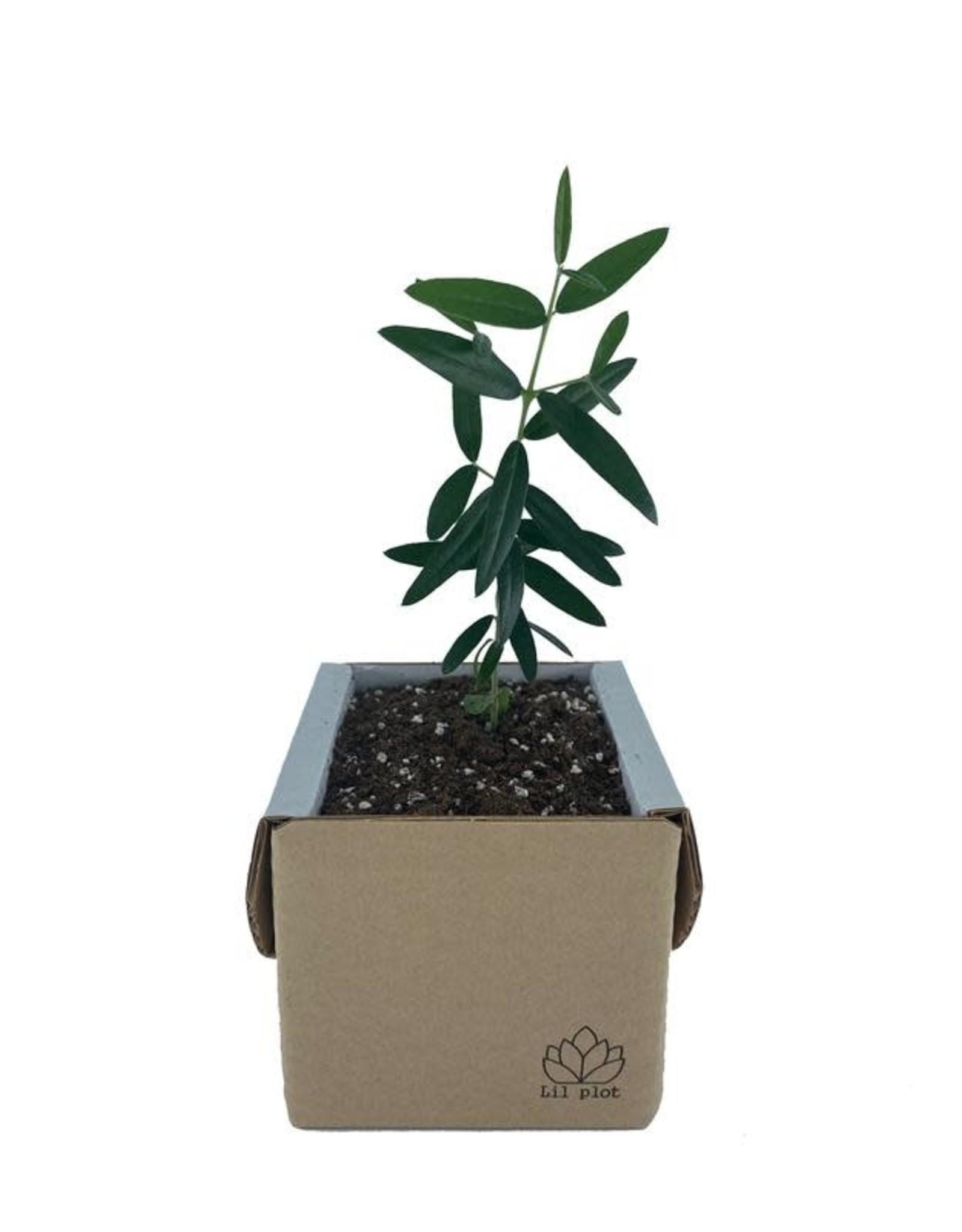 lil plot Grow your own tree Olijfboom