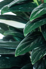 Philodendron Philodendron cobra D21