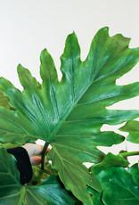 Philodendron Philodendron Shangri-La D17