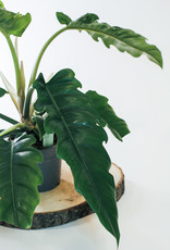 Philodendron Philodendron narrow D14