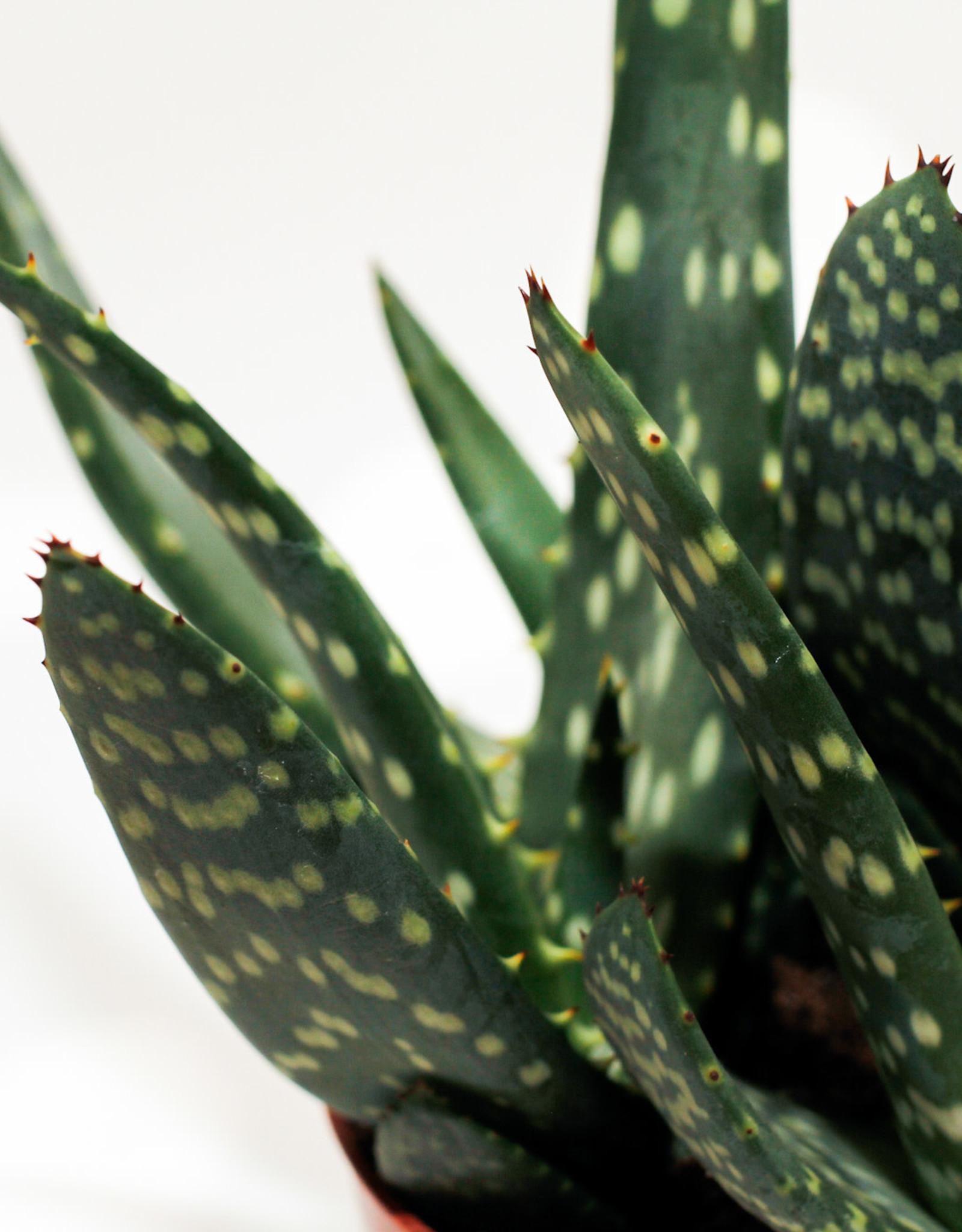 Aloe Aloe paradisicum D10