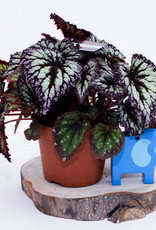 Begonia Begonia fireworks D13