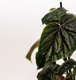 Begonia Begonia oldemor D12