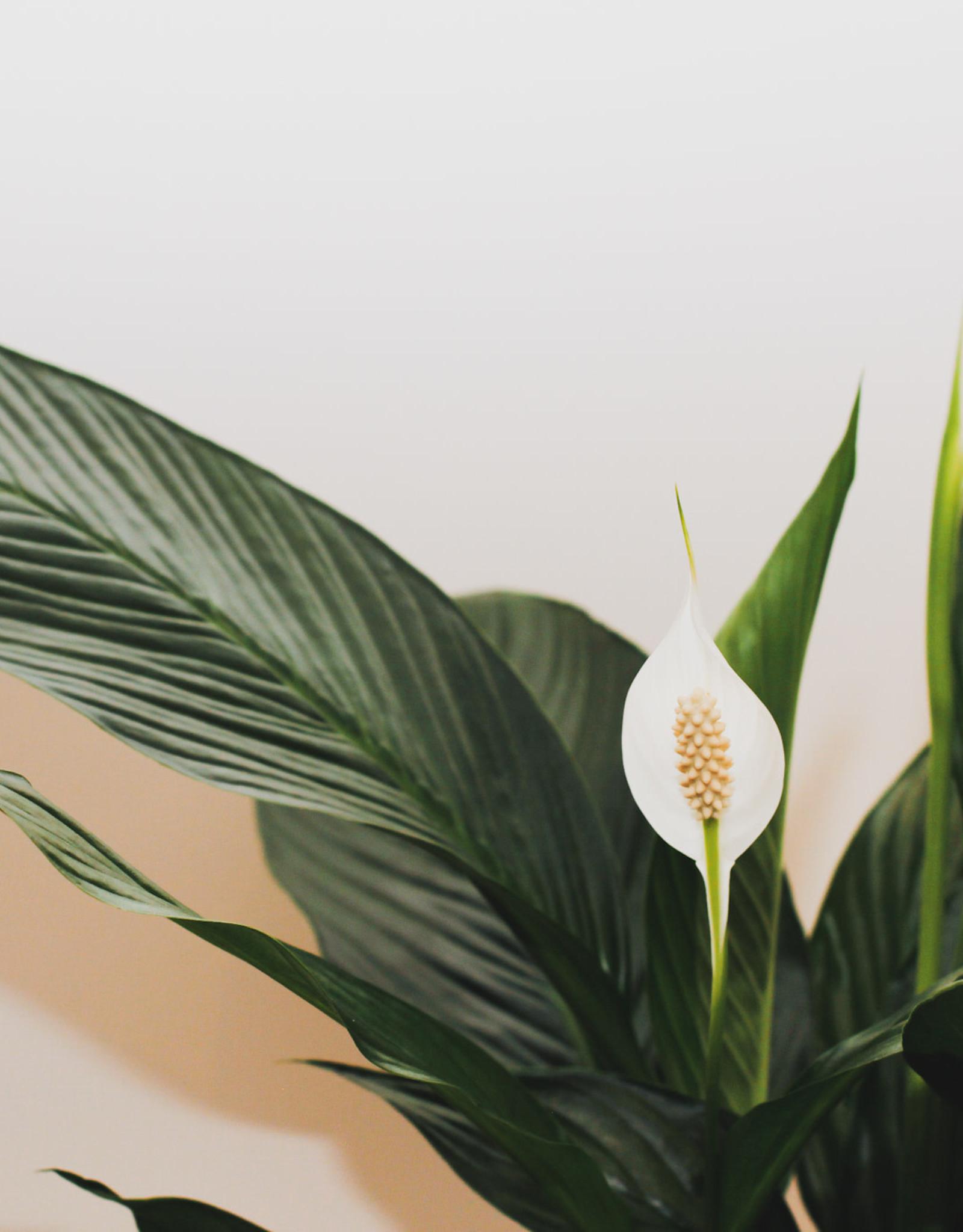 Spathiphyllum Spathiphyllum bingo cupid D19