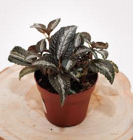 Pilea Pilea spruceana silver D8