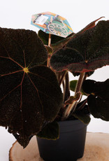 Begonia Begonia blad masoniana D17