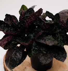Hemigraphis Hemigraphis purple D13