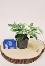 Fatsia Fatsia japonica variegata D12