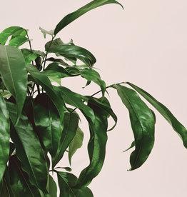 Castanospermum Castanospermum australe D12