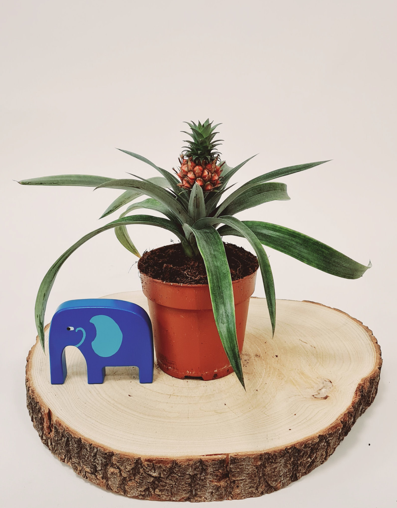Ananas Ananas mi amigo D12