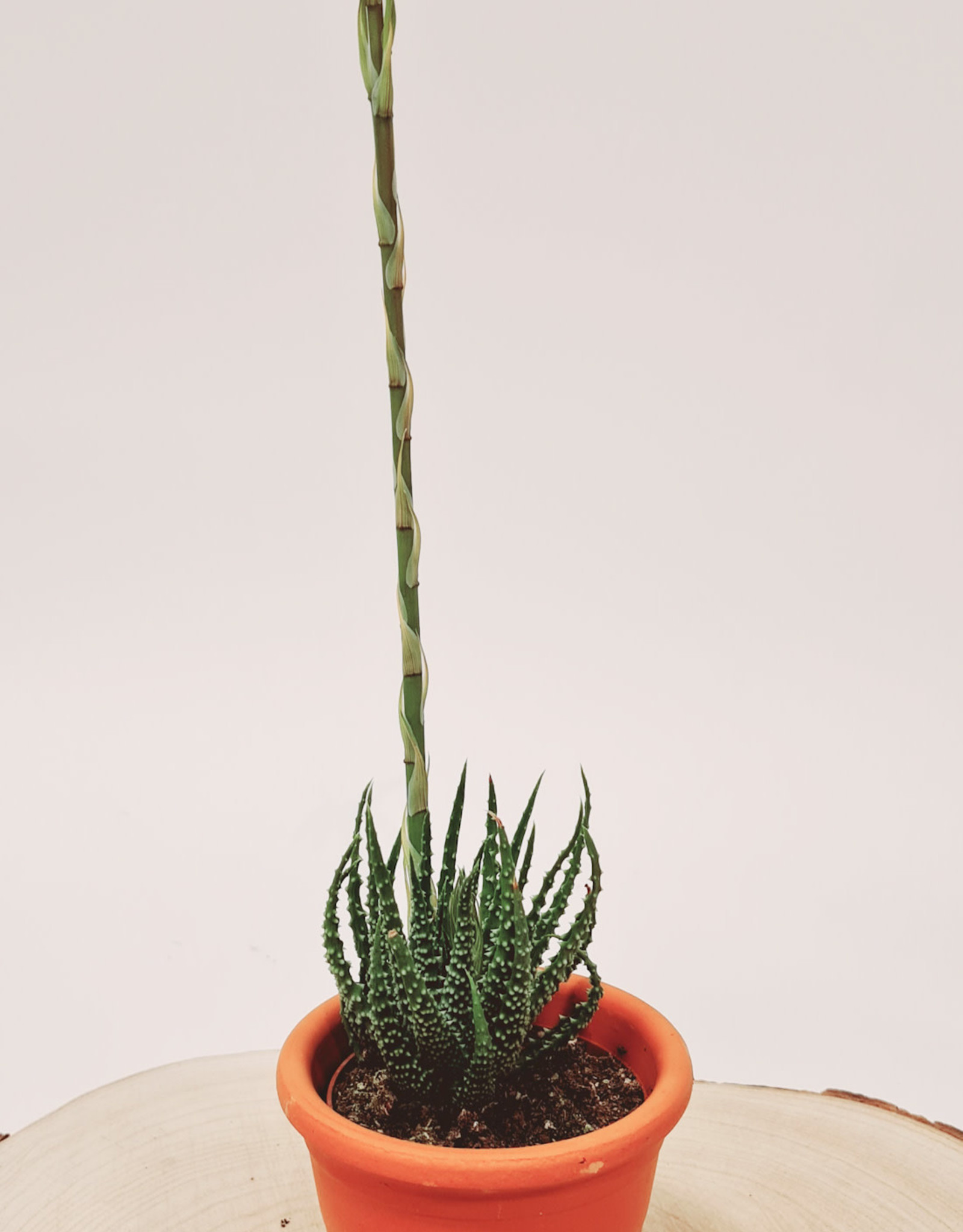 Aloe Aloe humilis D10