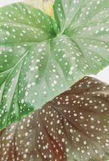 Begonia Begonia corallina D13