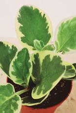 Peperomia Peperomia obtusifolia D8