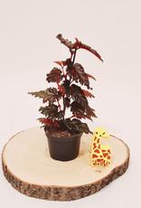 Begonia Begonia serratipetal D12