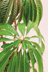 Begonia Begonia luxurians D16