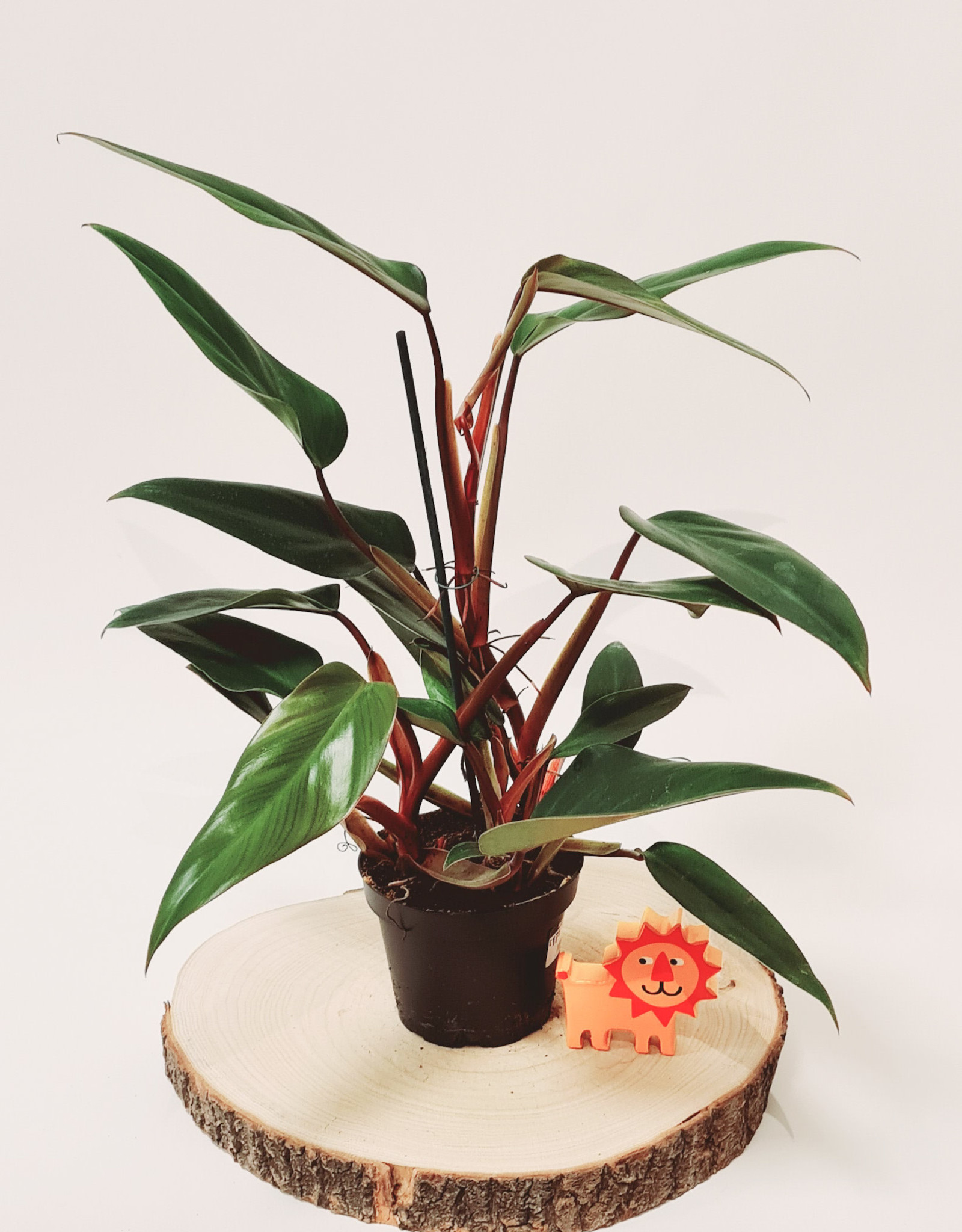Philodendron Philodendron ruby D13
