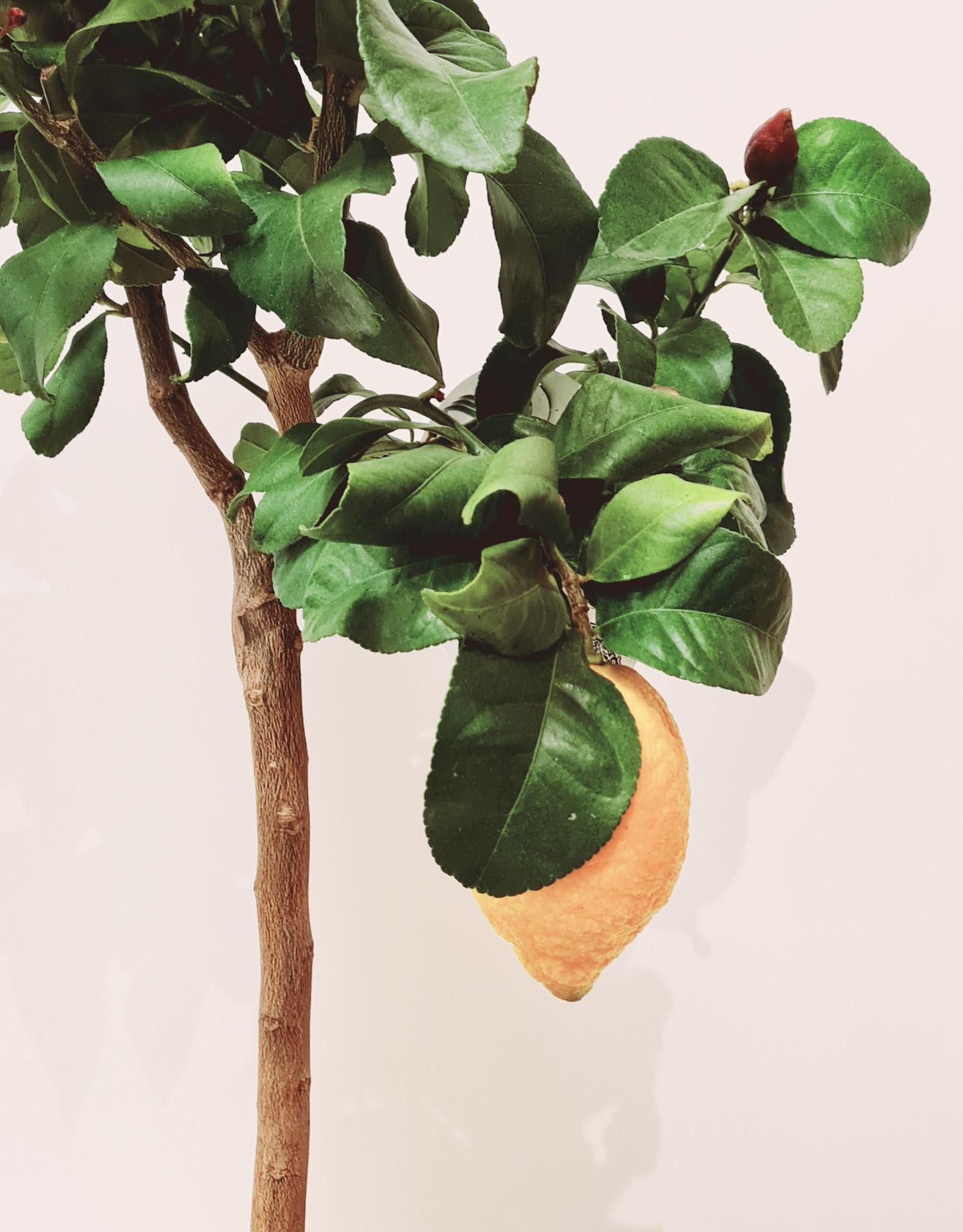 Citrus Citrus citroen D20