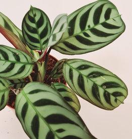 Calathea Calathea amabilis D9