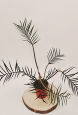 Philodendron Philodendron Bipinnatifidum 'Tortum' D15