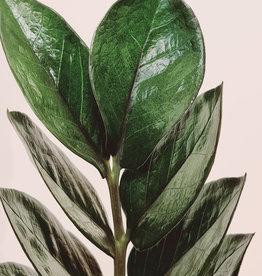 Zamioculcas Zamioculcas zamiifolia (zz) Super nova D21