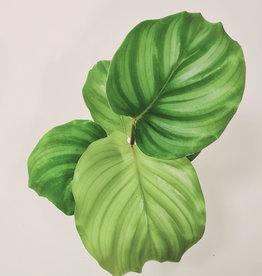 Calathea Calathea orbifolia D6