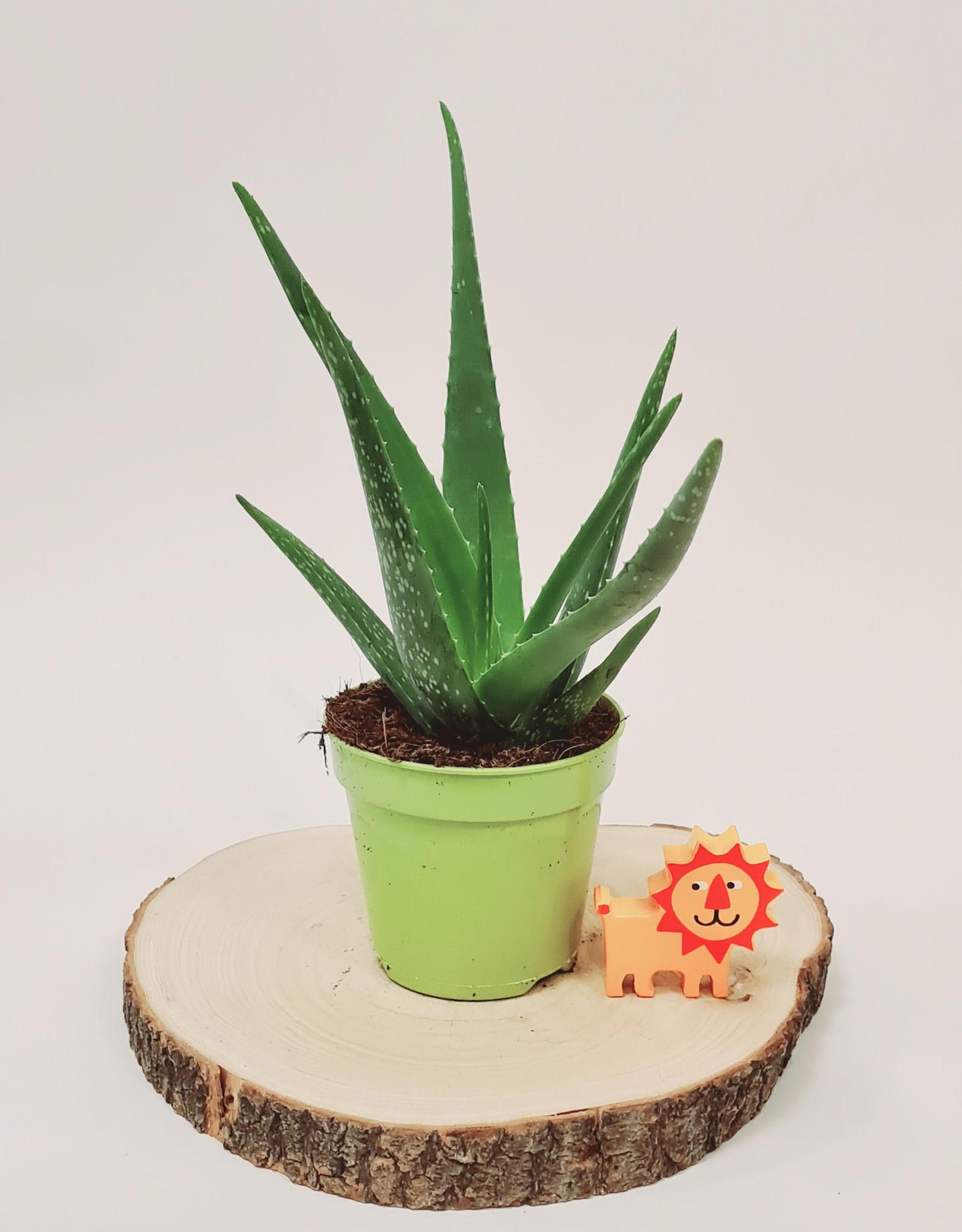 Aloe Aloe vera D15