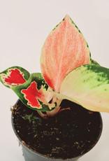 Aglaonema Aglaonema Red zicron D6