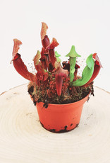 Sarracenia Sarracenia catesbaei D12