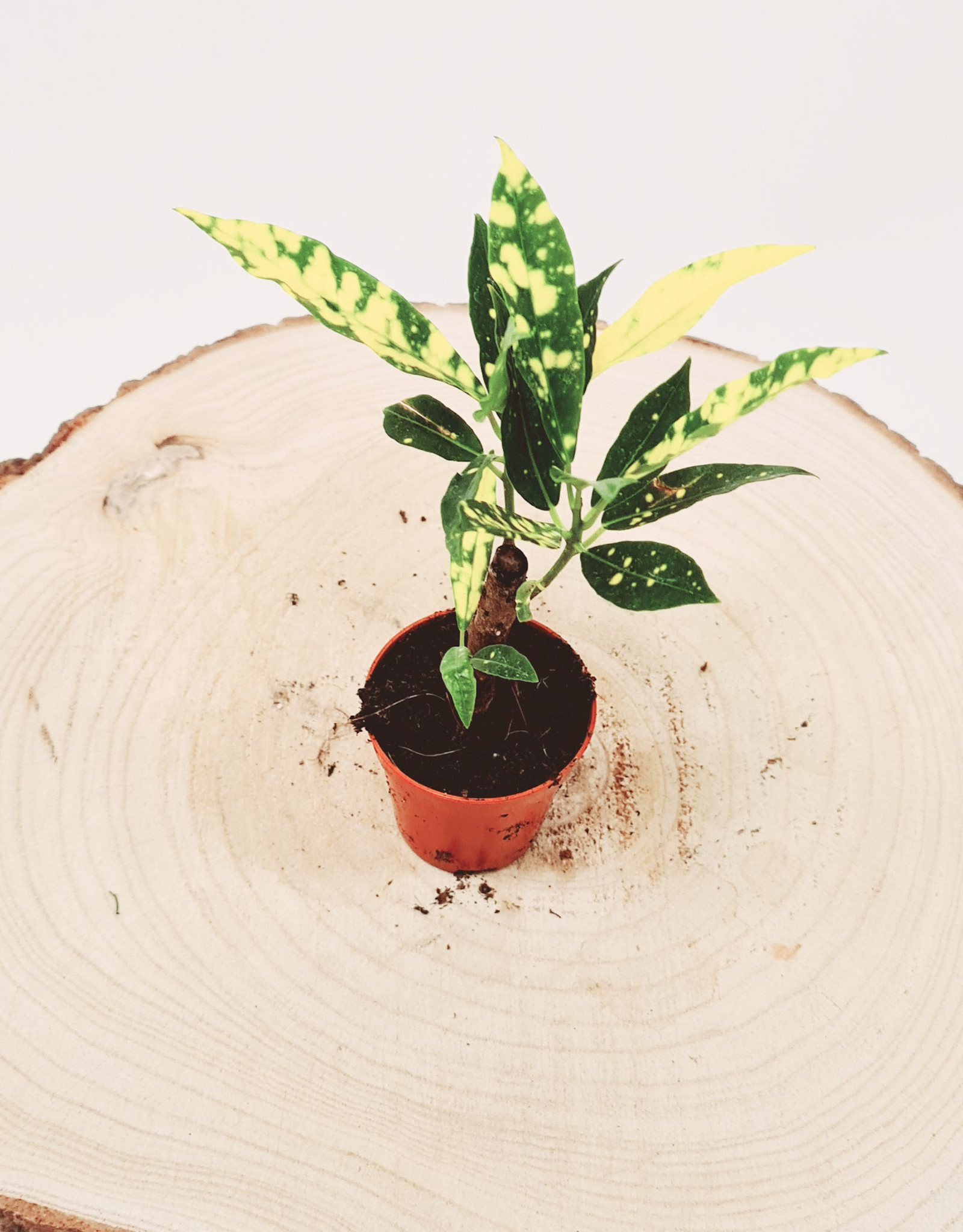 Croton Croton Aucubaefolia D5