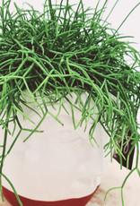 Rhipsalis Rhipsalis cassutha D12