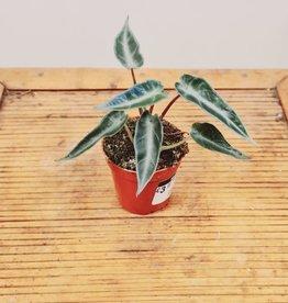 Alocasia Alocasia amazonica D5