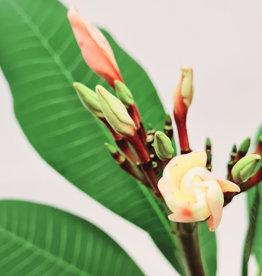Plumeria Plumeria D17