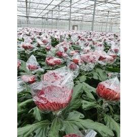 Sachets pour chrysanthèmes