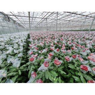 Sachets de protection pour chrysanthèmes - Cellophane 140 x 170mm